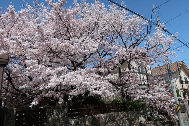 cherry-blossom-210331-6a