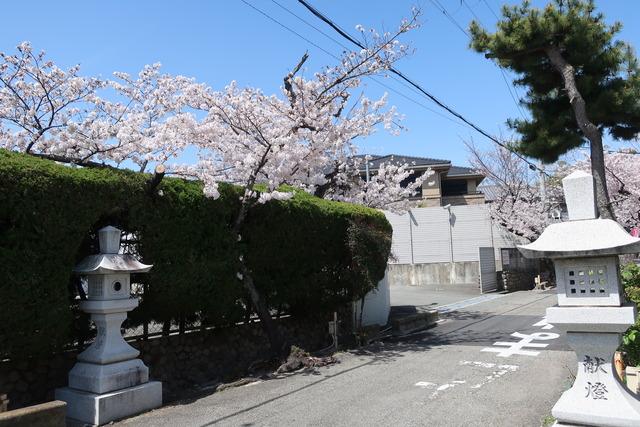 cherry-blossom-210331-8
