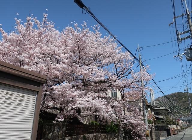 cherry-blossom-210331-7