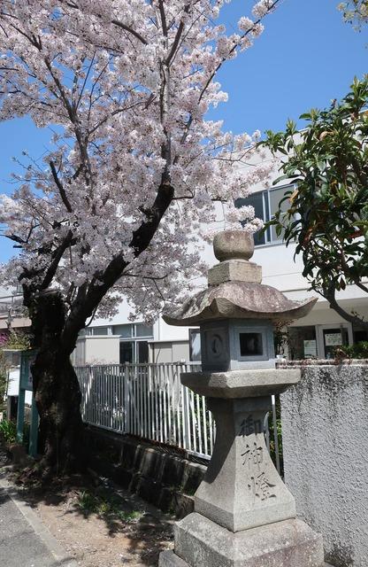 cherry-blossom-210331-10