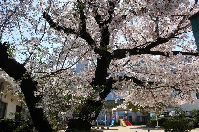 cherry-blossom-210331-11a