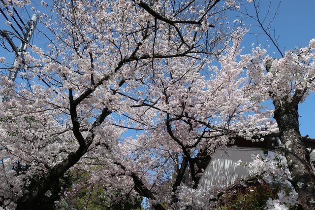 cherry-blossom-210331-4a