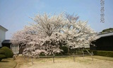 180402_本社桜満開