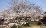 180329_本社桜5分咲き