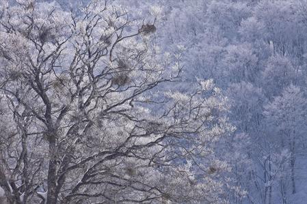 ブナと霧氷
