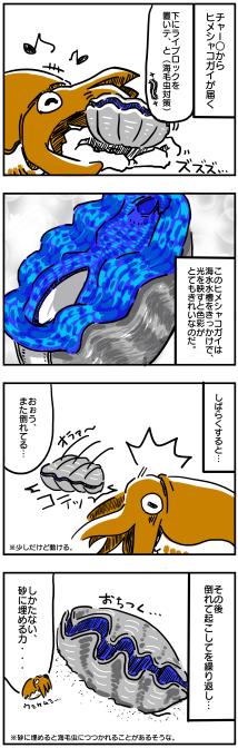 ヒメシャコガイ①