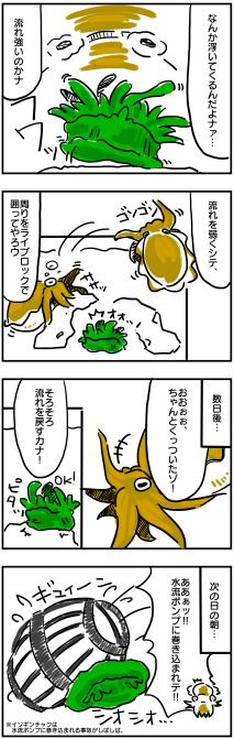 イソギンチャク飼育②