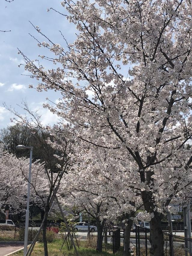 今年の桜は早い!
