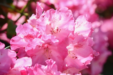 rhododendron-4215185_1920