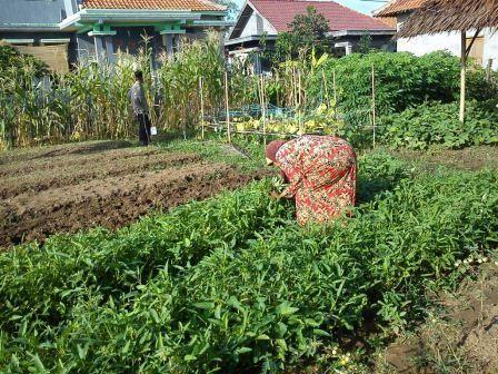 収穫する女性