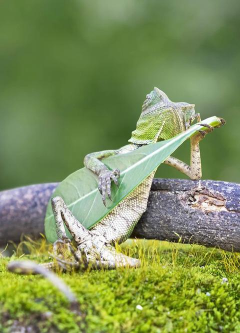 Dragon-Lizard-Playing-Leaf-Guitar