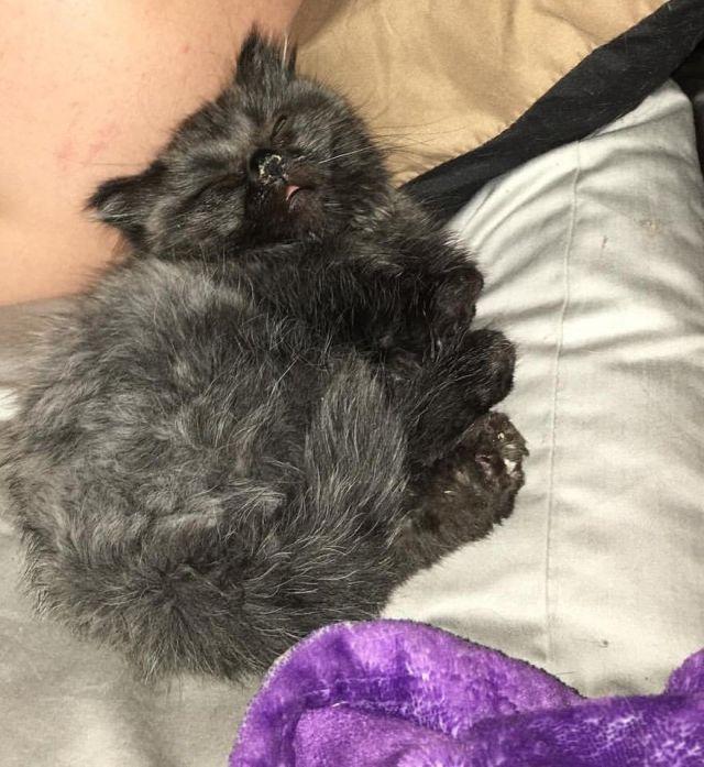dwarf_kitten_05