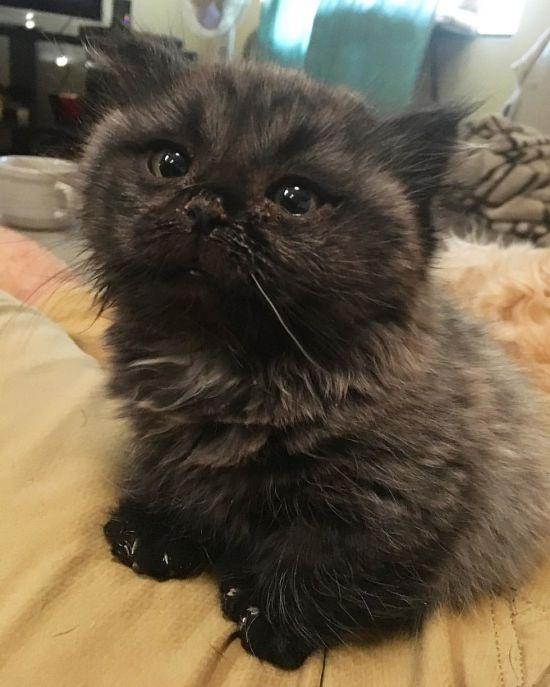 dwarf_kitten_02