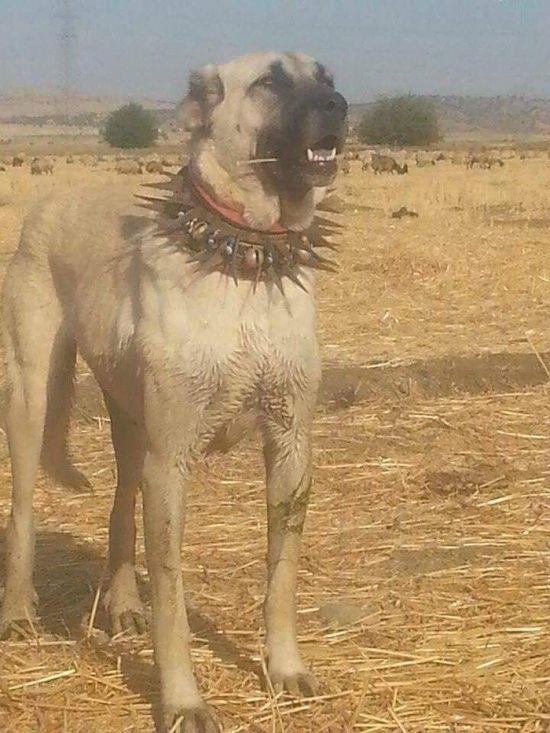 collar_against_wolves_04