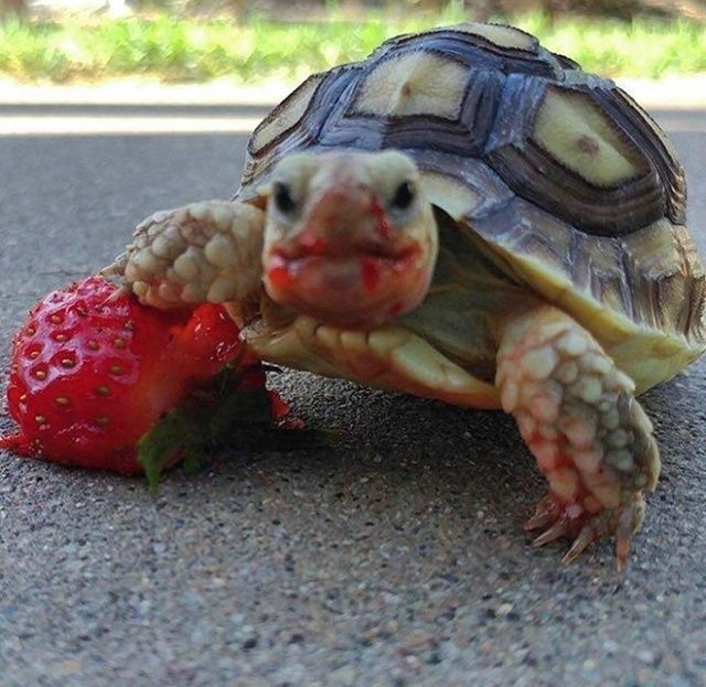 eating_strawberry_11