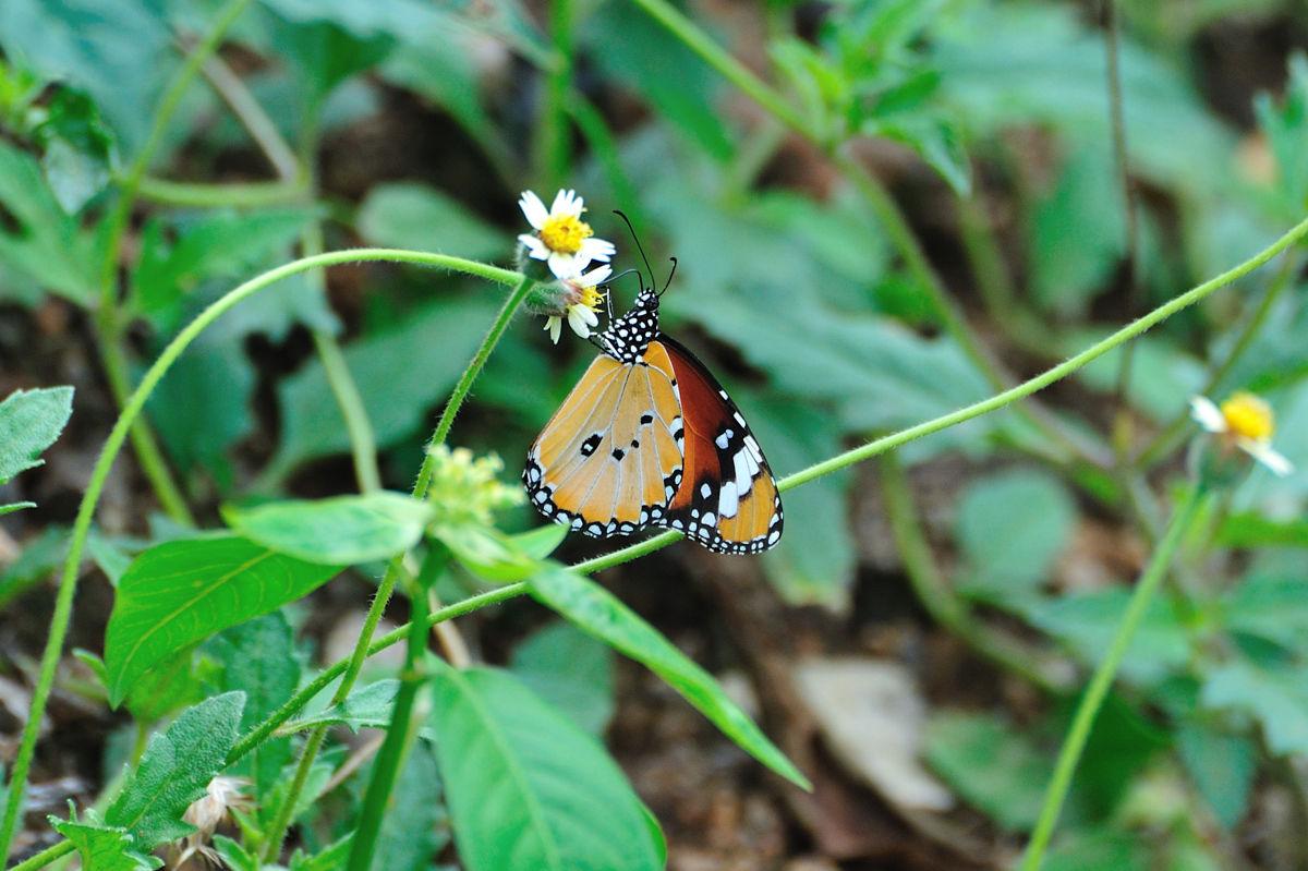 Naturing Thailand : マダラチョ...
