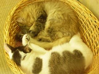 かごで寝る猫ちゃん