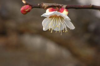 【Caplio R6】近所の梅を撮影