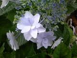 今朝も紫陽花