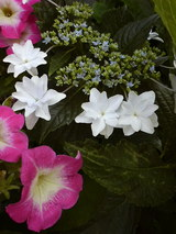6月18日紫陽花