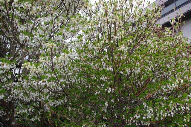 【K200D】近所の白い花