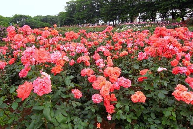 与野のバラ園でバラを撮影
