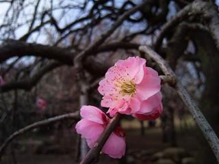 【OMNIA 930SC】梅園を撮影