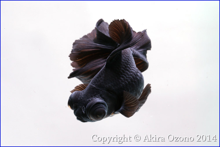 IMG_5857 黒出目金(ベールテール)依頼があって、 久しぶりに金魚をスタジオ撮影。こ...