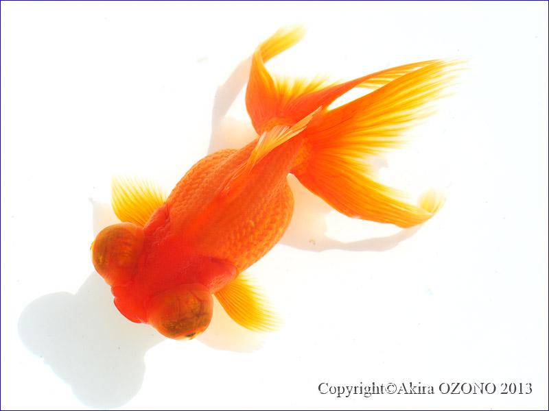 PA070028 赤出目金 (上と同一個体) 当時はいわゆる金魚すくいサイズだったのですが...