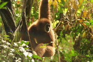 gibbon-rehabilitation