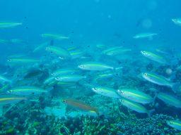 プーケット島 魚