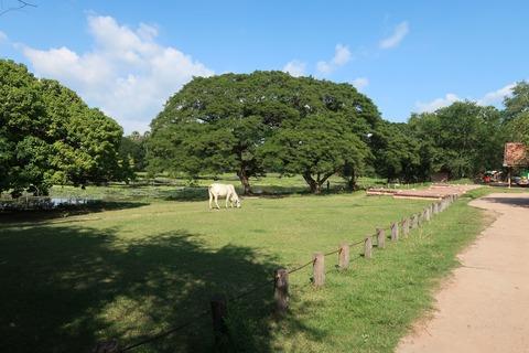 1114Aワット北濠と参道付近の牛