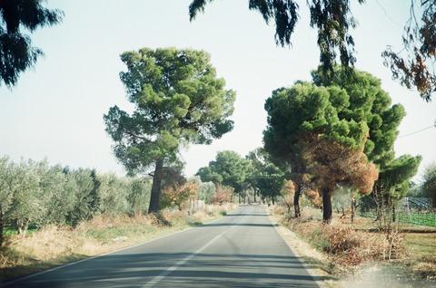2001年11月伊ポリコーロ付近の松並木 (2)