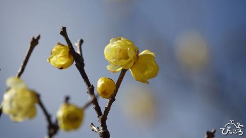 今年のお花見はひっそりと