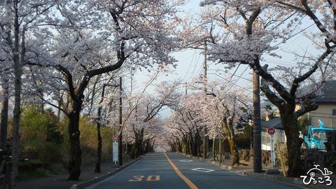 0327_桜のトンネル1