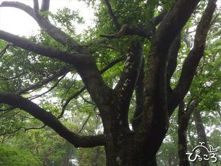ブナの大木