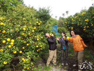 ニューサマーオレンジ狩り