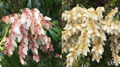 190414_アセビの花