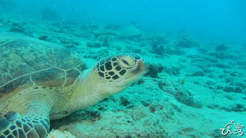 ニューカレ:アオウミガメ