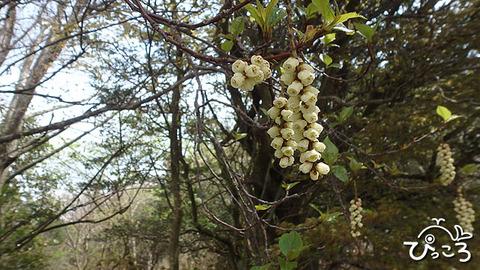 キブシの花