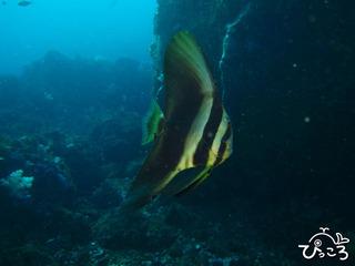 2012-12-12ツバメウオ幼魚@八幡野ボート