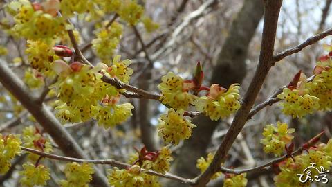 190414_アブラチャンの花