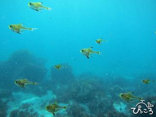 ツマグロハタンポ幼魚