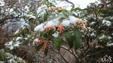 雪のつもったアセビ_P3230209
