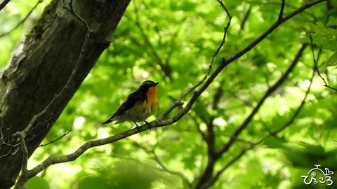 鳥_キビタキ_DSCN1965