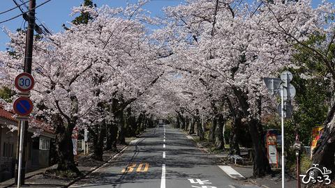 200402_桜のトンネル