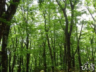 ブナの森 1