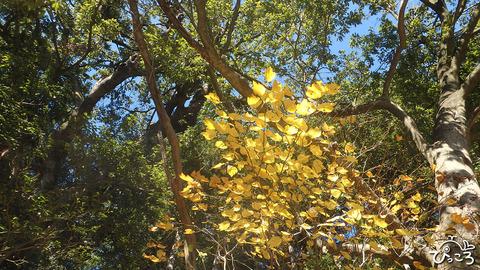 1210_ダンコウバイの黄葉