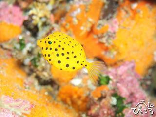 ミナミハコフグの幼魚 photo by 長屋父さん