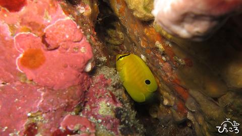 1201_シテンヤッコ幼魚